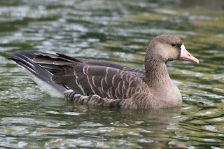 Greater White-fronted Goose, ML377257641