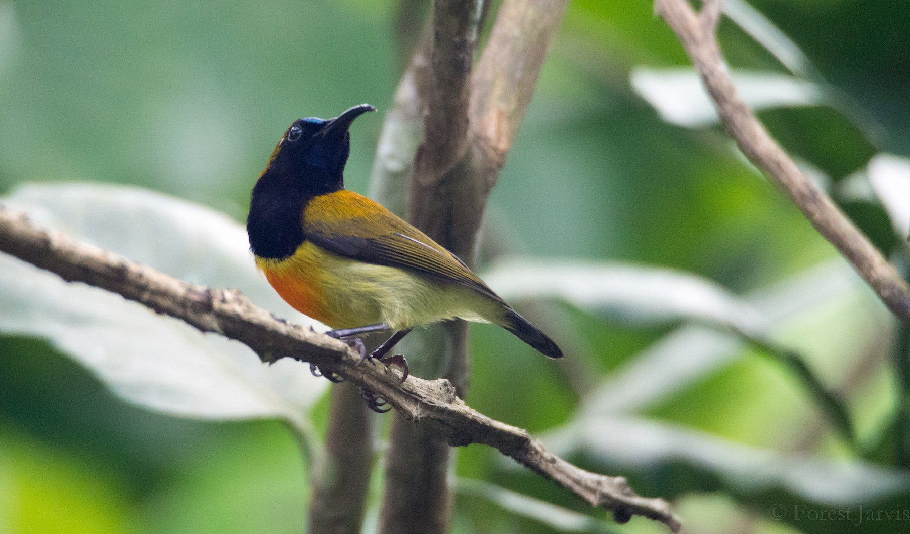 Flaming Sunbird - Forest Jarvis