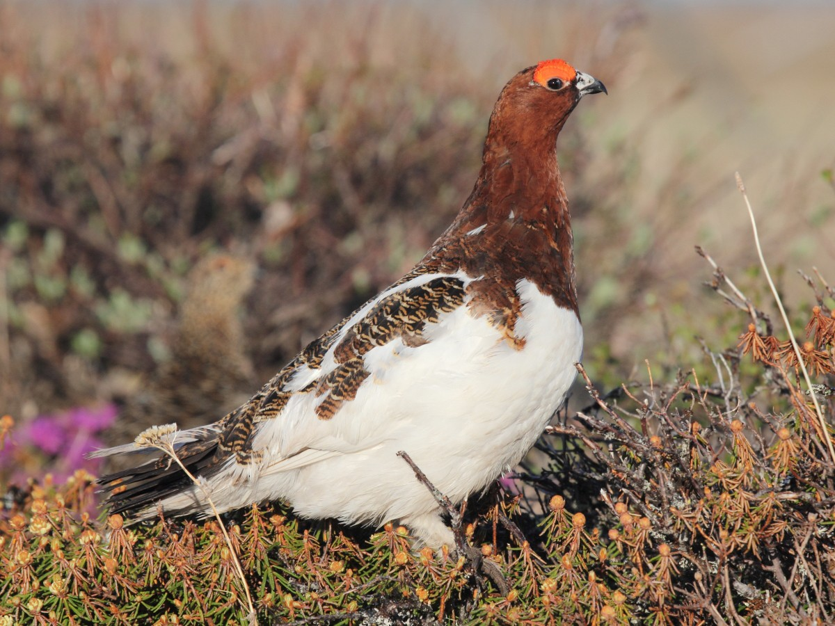 Willow Ptarmigan - Mike V.A. Burrell