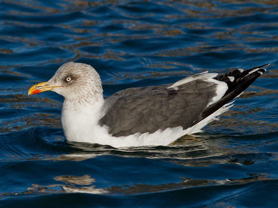 Lesser Black-backed Gull - Dorian Anderson