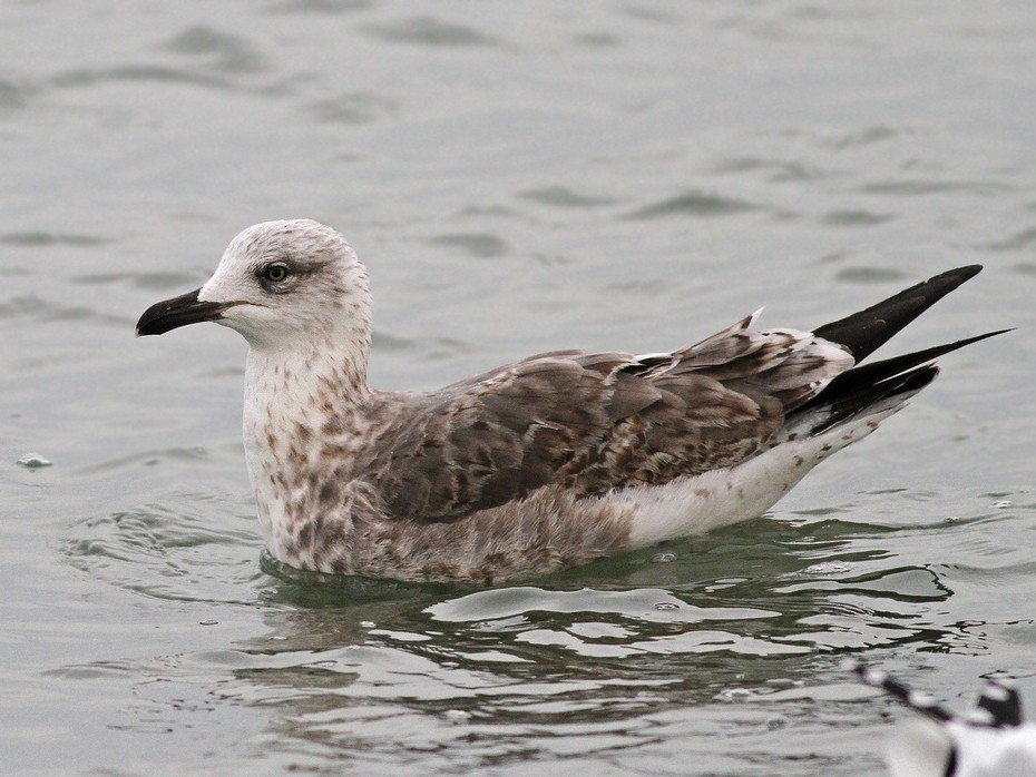 Lesser Black-backed Gull - Jeremiah Trimble