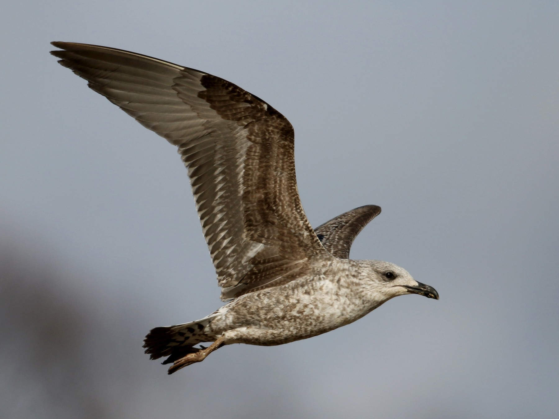 Lesser Black-backed Gull - Jay McGowan