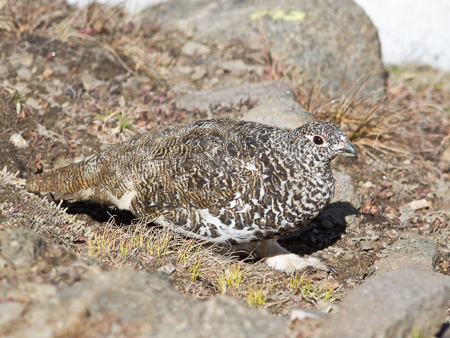 White-tailed Ptarmigan - Dorian Anderson