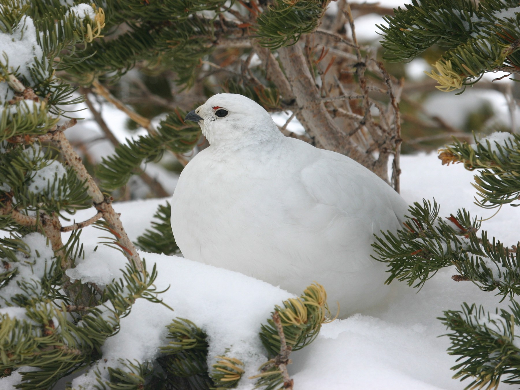 White-tailed Ptarmigan - Chris Wood
