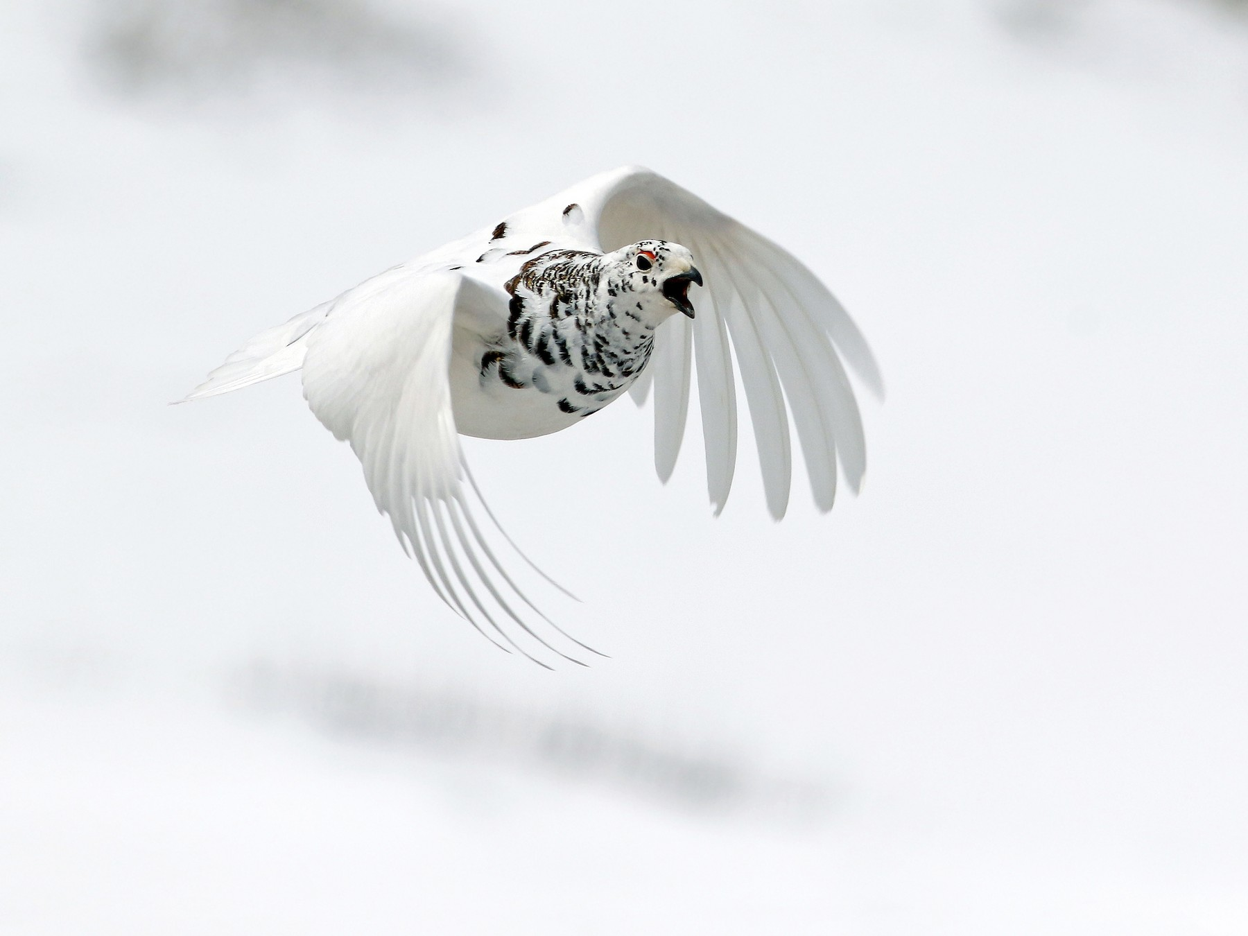 White-tailed Ptarmigan - Andrew Spencer