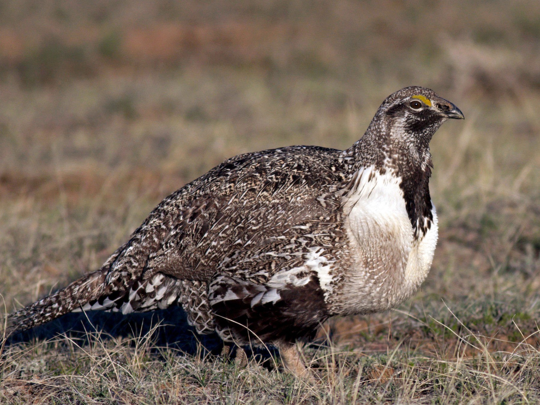 Greater Sage-Grouse - Ben Lagasse