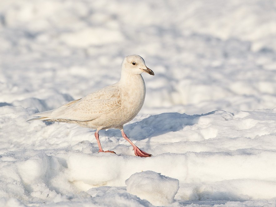 Iceland Gull - Dorian Anderson