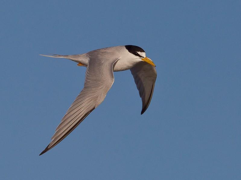 Least Tern - Dorian Anderson