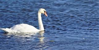 Mute Swan, ML378334481
