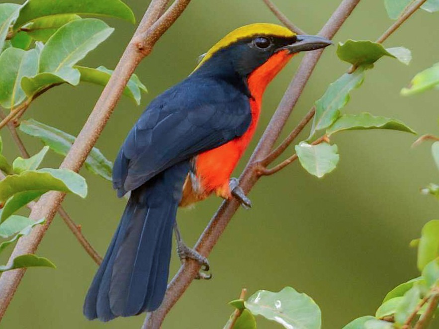 Yellow-crowned Gonolek - Eric francois Roualet