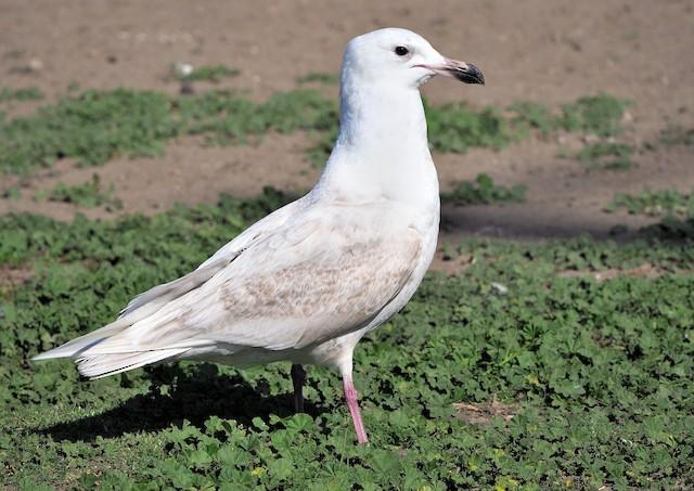Glaucous-winged x Glaucous Gull (hybrid)