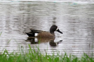 Blue-winged Teal, ML37879811