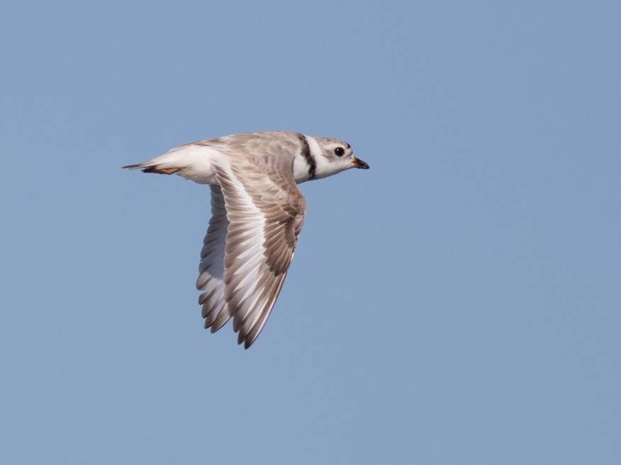 Piping Plover - Tom Johnson