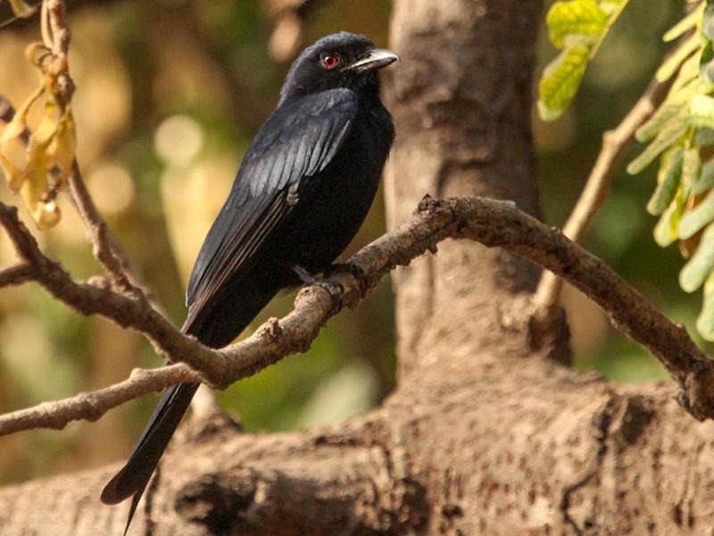Western Square-tailed Drongo - kris Webb