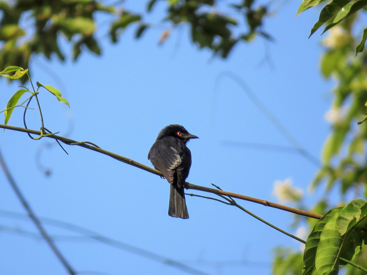Western Square-tailed Drongo - Bram Piot