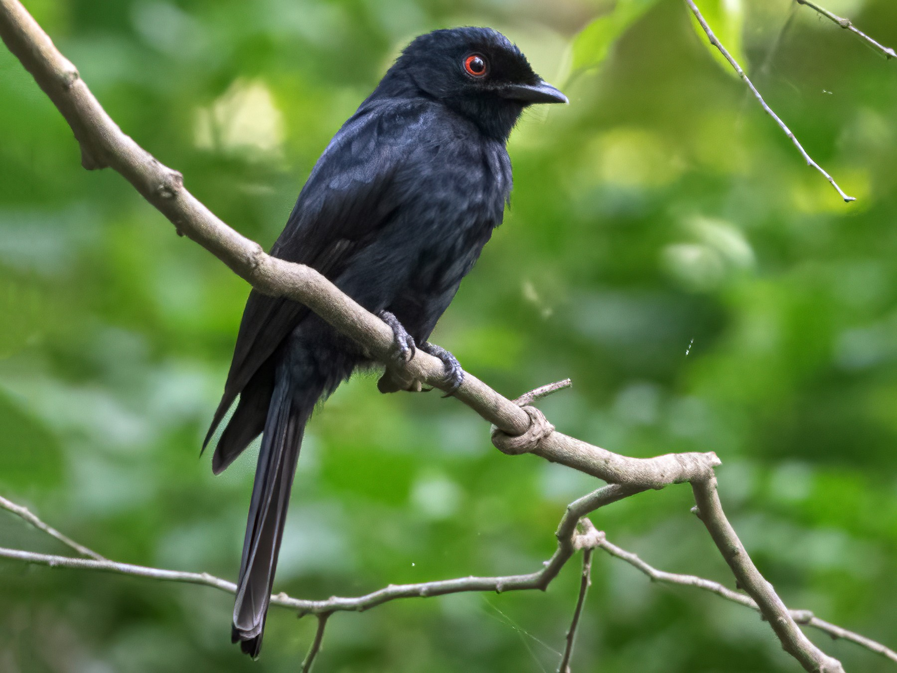 Western Square-tailed Drongo - John Sterling
