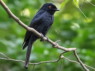 - Western Square-tailed Drongo