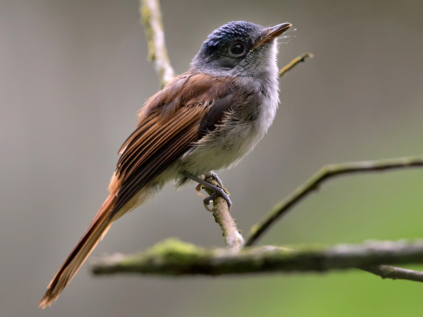 Sao Tome Paradise-Flycatcher - Lars Petersson