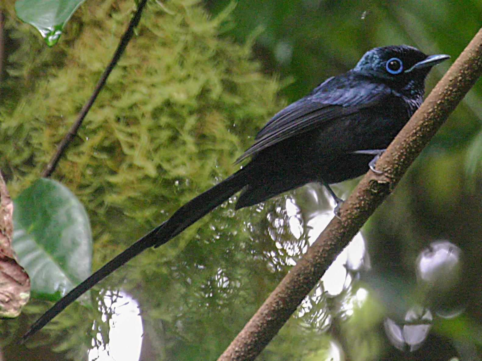 Sao Tome Paradise-Flycatcher - Simon Colenutt