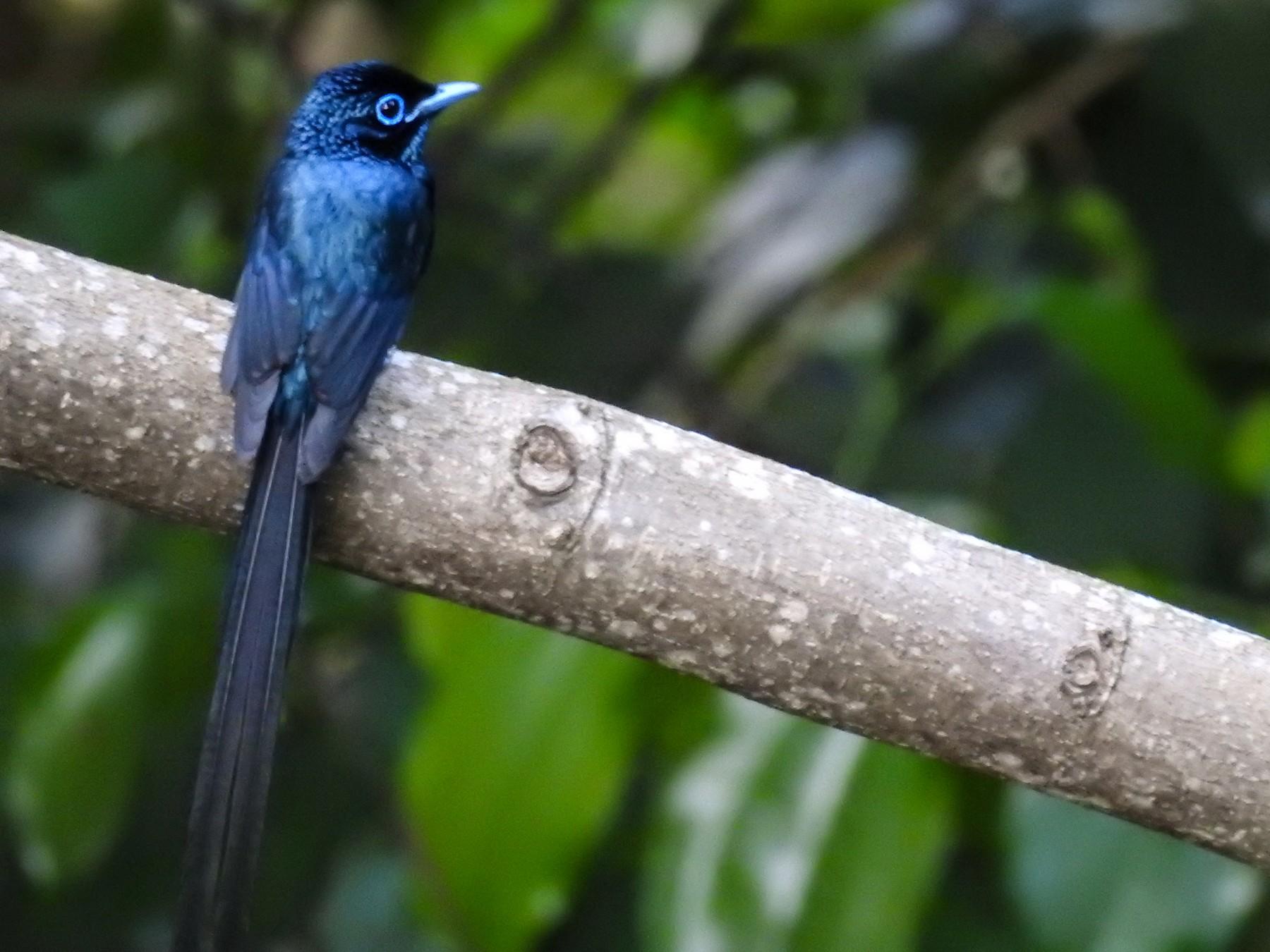 Sao Tome Paradise-Flycatcher - Christophe Balleron