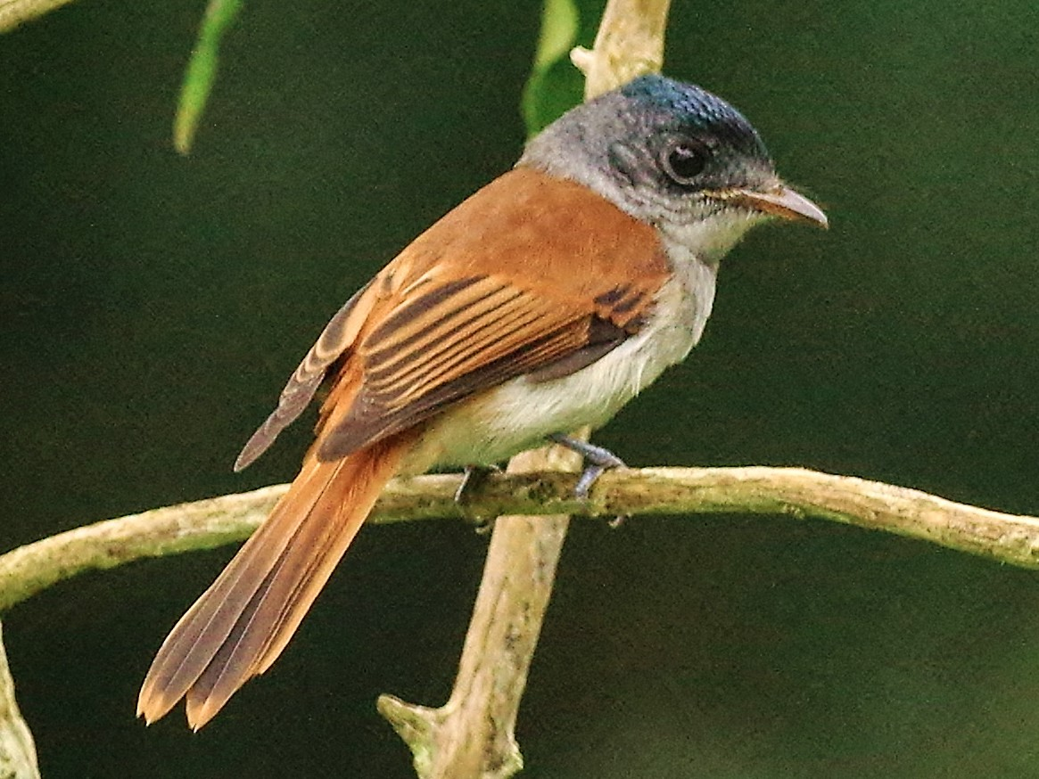Sao Tome Paradise-Flycatcher - Thibaud Aronson