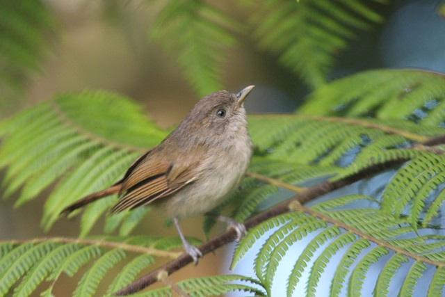 Brown Fulvetta