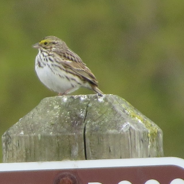 Savannah Sparrow (Savannah)