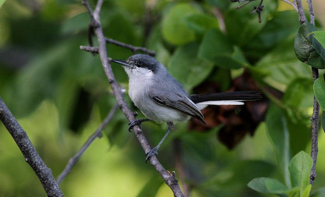 Tropical Gnatcatcher (plumbiceps/anteocularis)