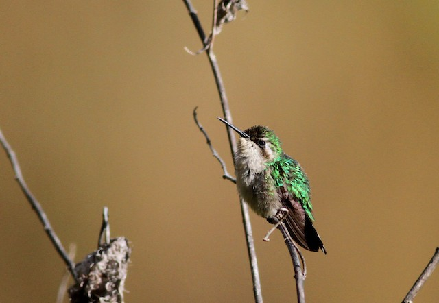 Green-tailed Emerald