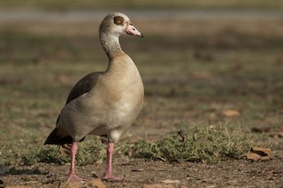 Egyptian Goose, ML380883051