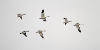 Snow Goose, ML38091211