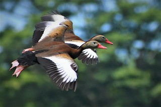 Black-bellied Whistling-Duck, ML381008981