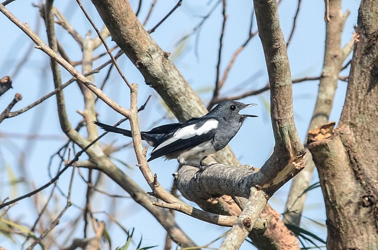 Philippine Magpie-Robin - Nikolaj Mølgaard Thomsen