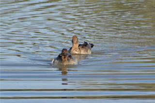 Maned Duck, ML381351981
