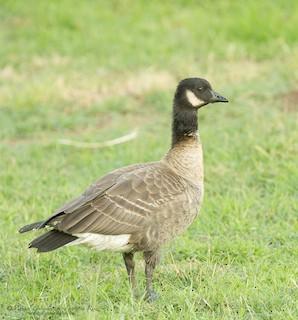 Cackling Goose (Aleutian)