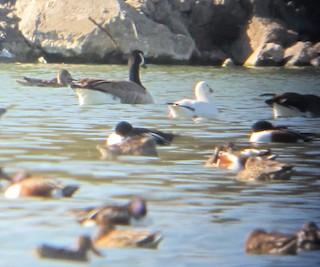 Ross's Goose, ML38168961