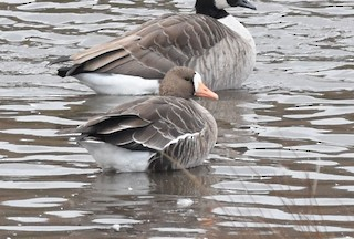 Greater White-fronted Goose, ML38237291