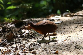 Highland Tinamou