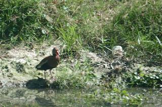 Black-bellied Whistling-Duck, ML382627451