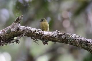 - Olive Flycatcher