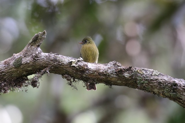 Olive Flycatcher