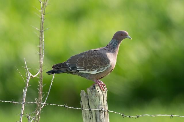 Picazuro Pigeon