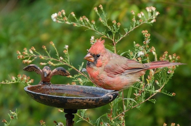 Formative male Northern Cardinal.