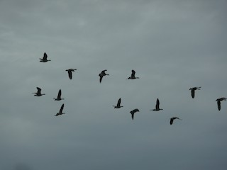 Cackling Goose, ML38357411