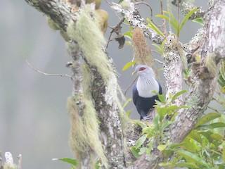 - Comoro Blue-Pigeon