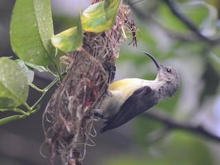 - Mayotte Sunbird
