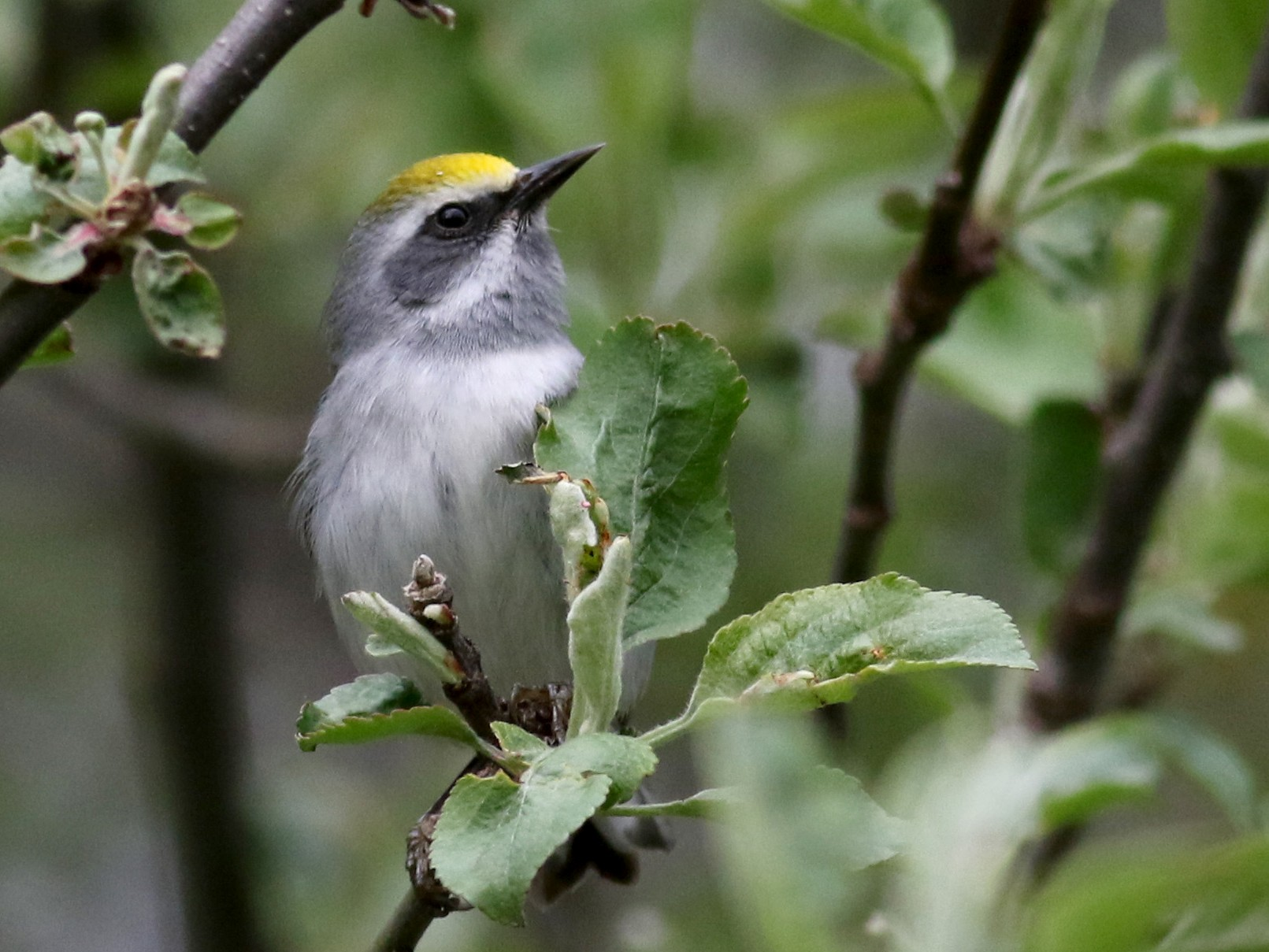 Golden-winged Warbler - Jay McGowan
