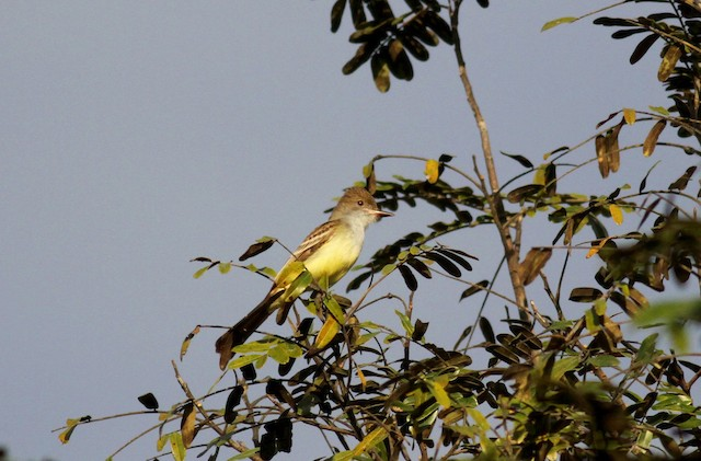 Brown-crested Flycatcher (South American)