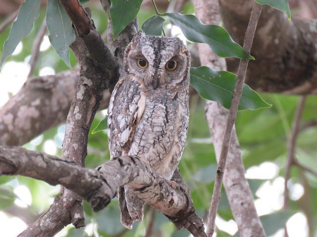 African Scops-Owl (African)