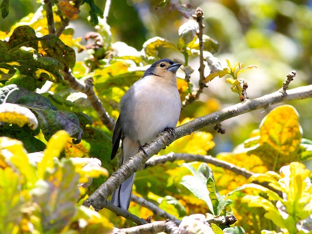 Common Chaffinch (Azores/Madeira)